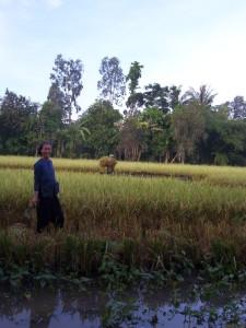 Récolte du riz au village de Cong Doi