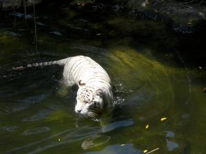 Tigre blanc dans l'eau au zoo de Singapour